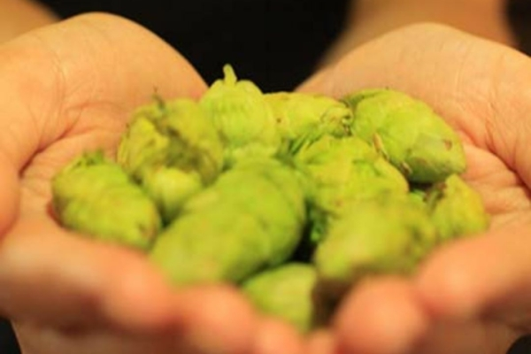Image shows hops harvested locally for Gilgamesh Beer